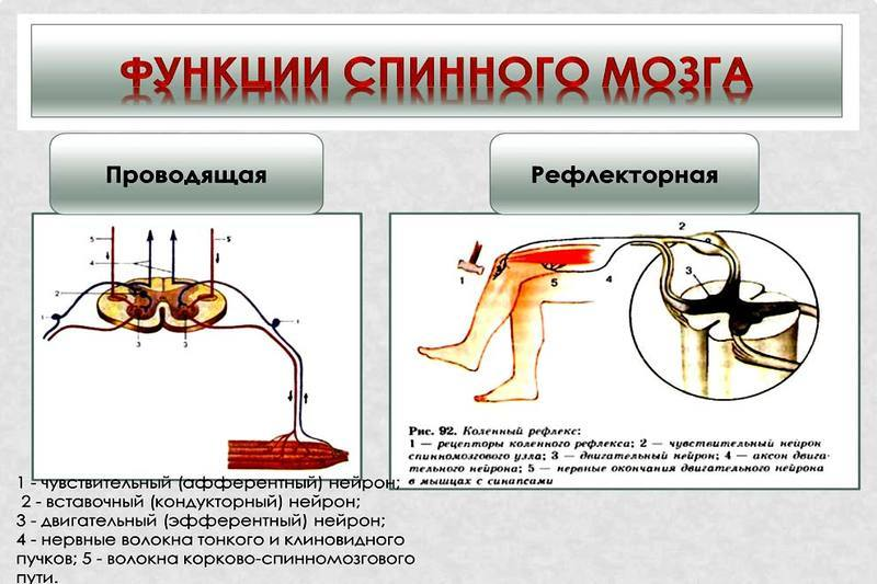 Spinal cord, its structure, functions, pathology in trauma, puncture